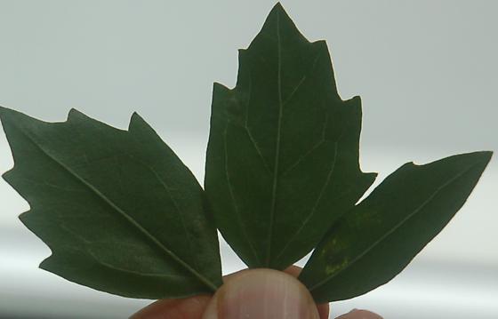 Pelham road leaf miner on Baccharis halimifolia D328 2016 3