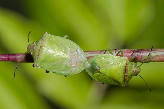 Stink Bugs Mating - Thyanta calceata - male - female
