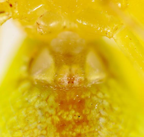 Spider BG484 - Misumessus oblongus - female