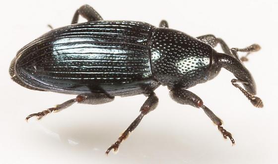 Beetle - Aulacobaris lepidii