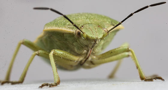 Green stink bug - Chlorochroa uhleri