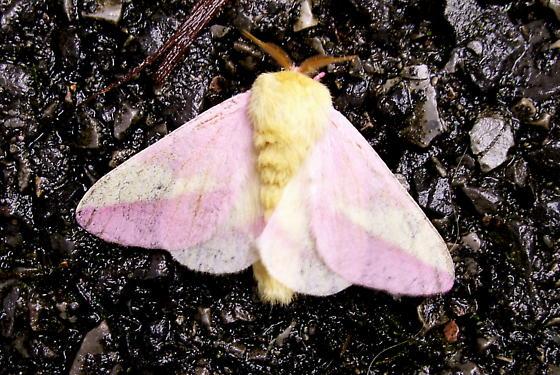 Rosy Maple Moth - Hodges#7715 - Dryocampa rubicunda