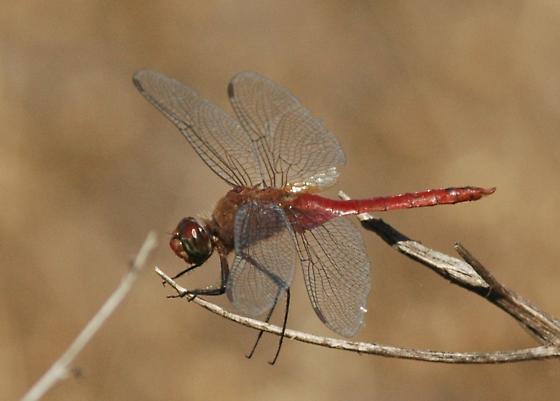 California Dragonfly 9 Red-Tailed Pennant - Brachymesia furcata - male