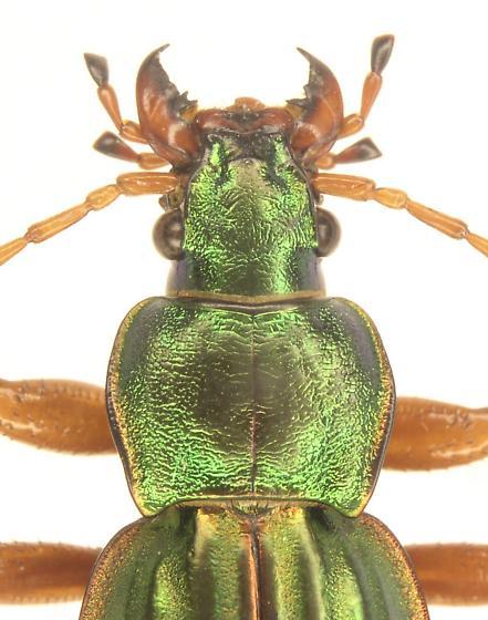 Carabus auratus - male