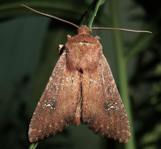 Dart Moth - Apamea scoparia
