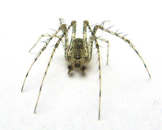 Pirate Spider? - Mimetus notius - male