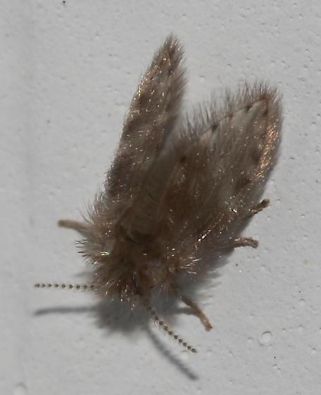 Mothfly - Psychoda