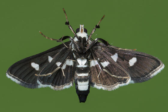 Desmia maculalis - female