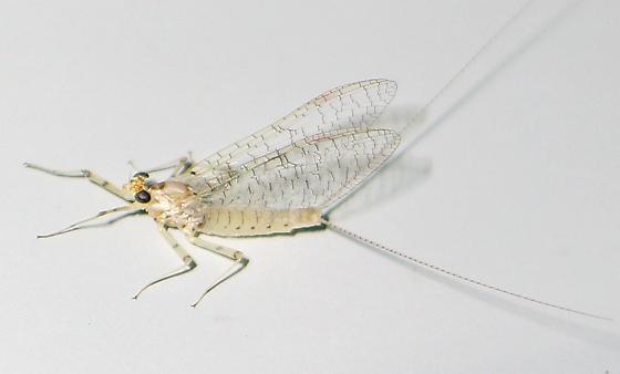 white mayfly - Maccaffertium