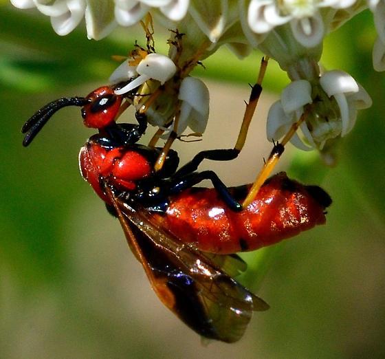 Unknown Wasp - Arge illuminata