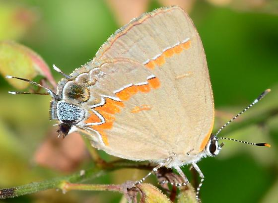 Red-banded Hairstreak? - Calycopis cecrops