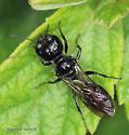 Hymenoptera - Pemphredon