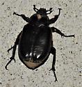 Osmoderma eremicola - Hermit Flower Beetle - Osmoderma