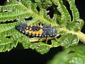 Lady Bug Larvae?? - Harmonia axyridis