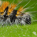 Unknown Caterpillar - Acronicta impressa