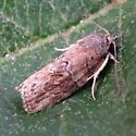 A Characoma sp. - Garella nilotica