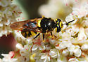 Wasp mimic: Which soldier fly? - Stratiomys maculosa