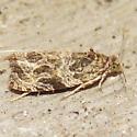 2795 Basswood Olethreutes - Olethreutes tilianum