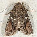 Brown Woodling - Egira perlubens