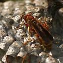 Paper Wasp (Polistinae) - Polistes bellicosus