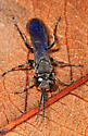Black wasp with blue wings - Liris