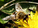 Unidentified Insect 153 - Eristalis tenax