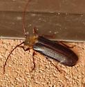 Large brown beetle - Tragosoma harrisii? - Tragosoma harrisii