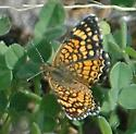 Which Crescent? - Phyciodes graphica - male