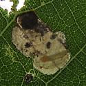 leaf mine - Coptodisca juglandiella