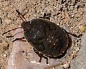 Unknown 'Bug' 9605 - Menecles insertus