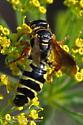 Thynnid Wasp? - Myzinum quinquecinctum - female