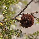 Shrub ornament - Asphondylia auripila