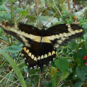 probably a swallowtail but i dont know, large buterfly - Papilio rumiko