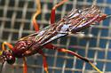 ichneumon wasp - Coleocentrus rufus - female