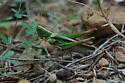Master of camoflage - Syrbula admirabilis - female