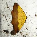 Antepione thisoaria - #6987 - Antepione thisoaria