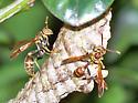Mischocyttarus mexicanus cubicola - Mischocyttarus mexicanus