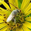 Agile Long-horned Bee  - Melissodes agilis