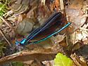 Black-winged Damselfly (Calopteryx maculata) ♂  ??? - Calopteryx maculata - male