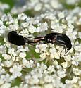 Tumbling Flower Beetles - Mordella
