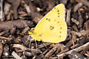 Clouded Yellow Butterfly - Colias eurytheme