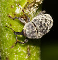 Spotted gray weevil - Rhyssomatus lineaticollis