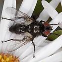Fly IMG_2496 - Leucostoma - female