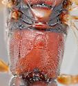 another confusing ichneumon - Barichneumon - female