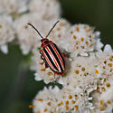striped beetle - Disonycha caroliniana