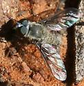 bee fly ? brown, fuzzy - Aphoebantus - male