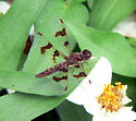 Small brown dragonfly - Perithemis tenera