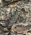 Jewel beetle - Chrysobothris dentipes - female