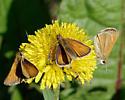 Skippers - European? - Thymelicus lineola