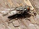 Flesh Fly - Family: Sarcophagidae